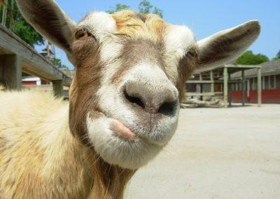 goat-face